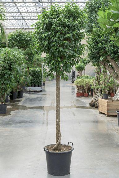 Grote ficus benjamina columnar plant
