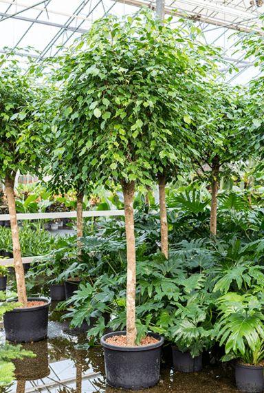 Grote ficus benjamina hydrocultuur plant