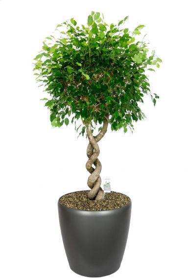 Grote ficus kamerplant in grijze pot