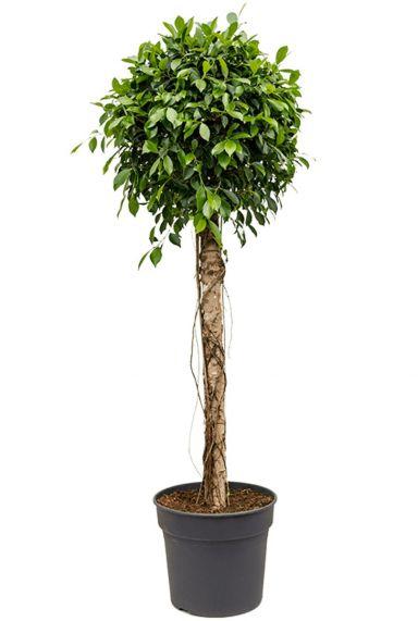 Grote ficus nitida kamerplant