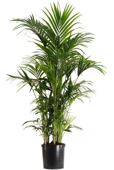 Grote kentia kamerplant