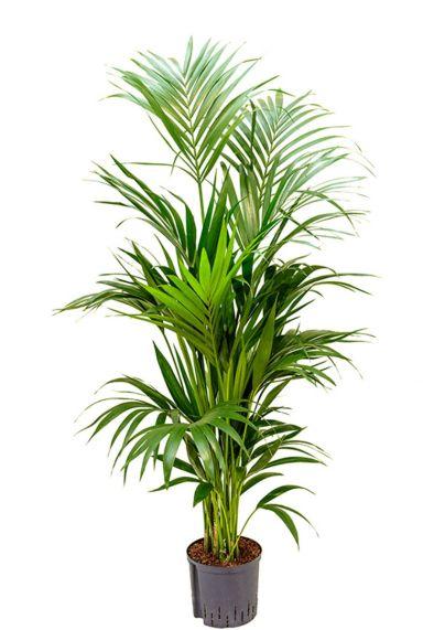 Grote kentia palm hydro