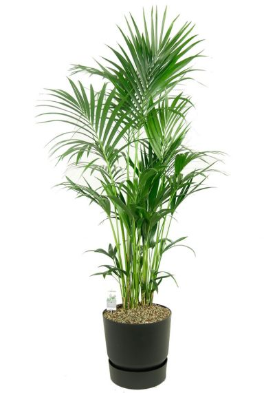 Grote kentia palm in pot