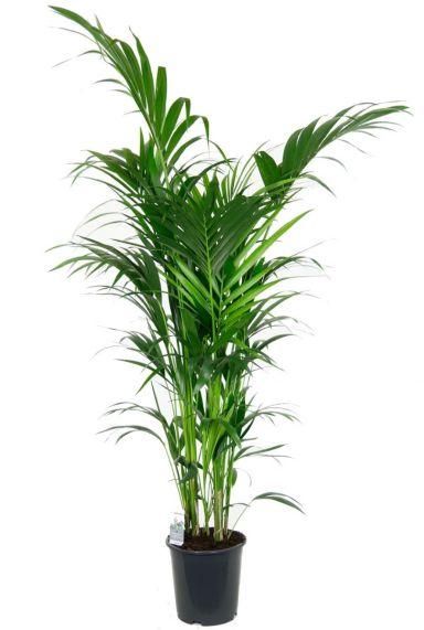Grote mooie kentia palm kamerplant