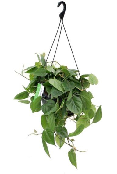 Grote philodendron hangplant 1