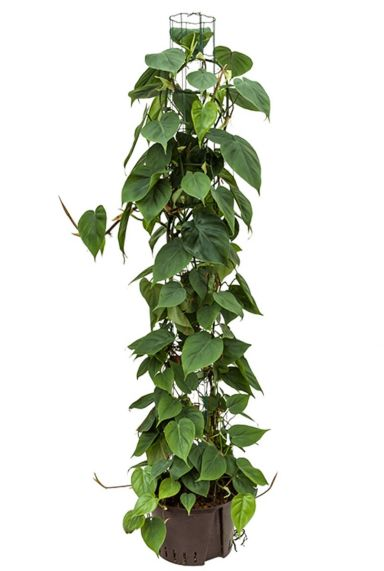 Grote philodendron scandens hydrocultuur