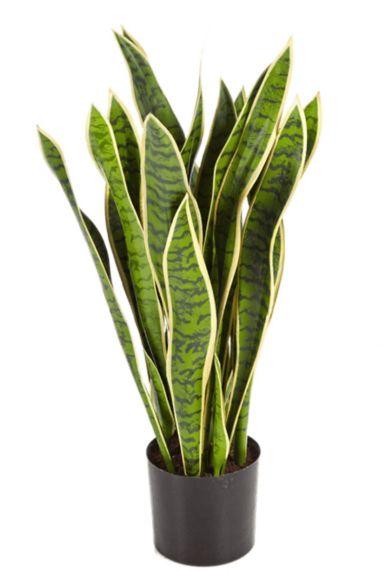 Grote sansevieria zijdeplant