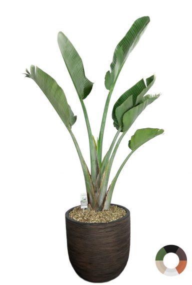 Grote strelitzia kamerplant in pot 1