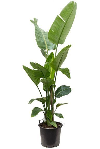 Grote strelitzia plant