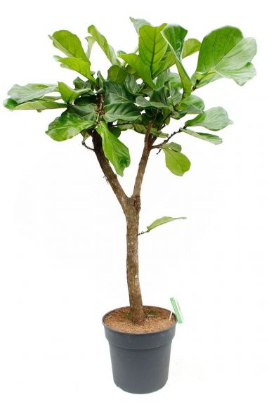 Grote tabaksplant 1