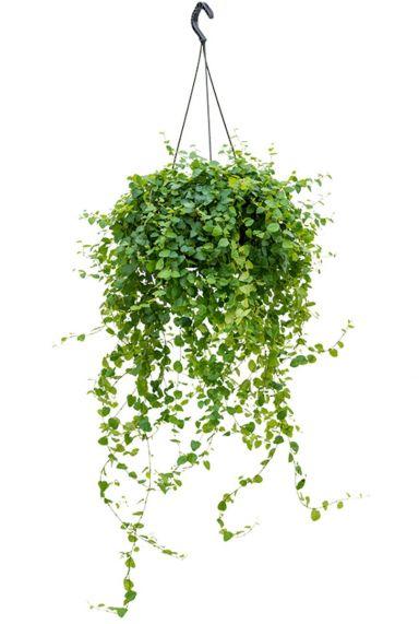 Hangplant ficus repens green sunny