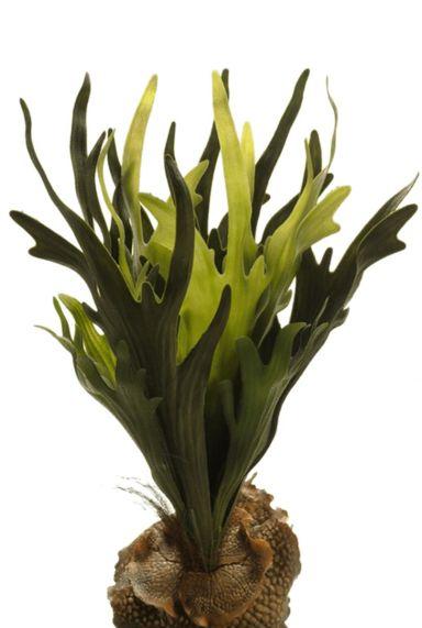 Hertshoorn varen zijdeplant