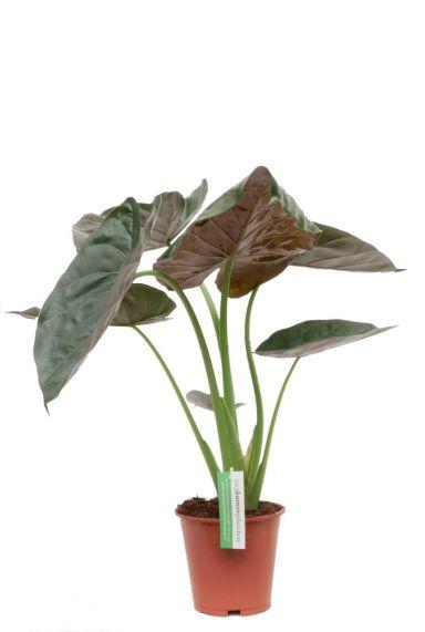 Alocasia Wentii kamerplant met grote bladeren