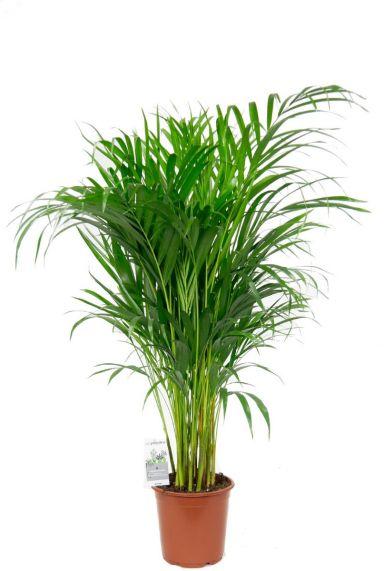 Kamerplant areca palm 1