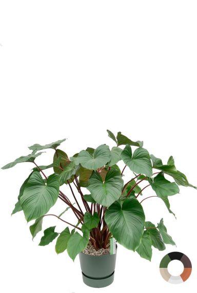 Kamerplant grote bladeren in elho pot 1