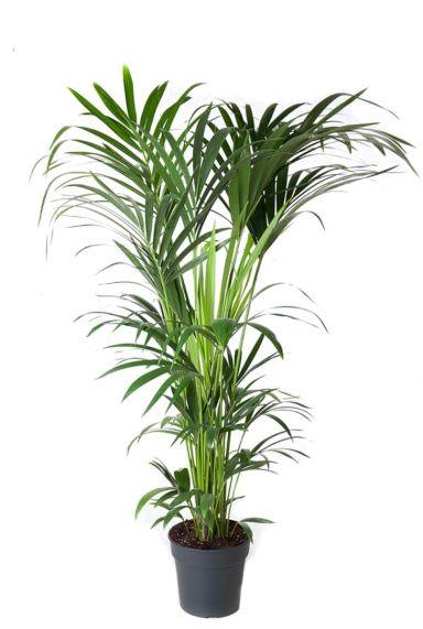 Kentia-palm-kamerplant