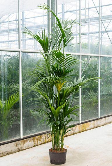 Kentia hydro kamerplant