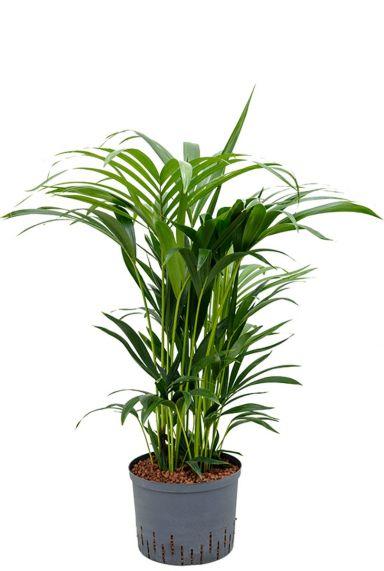 Kentia hydrocultuur kamerplant