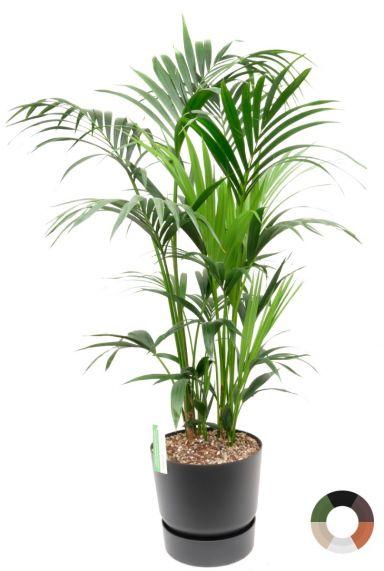 Kentia kamerplant in zwarte pot 1