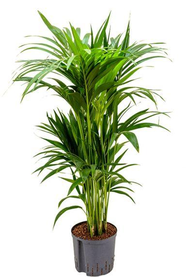 Kentia kamerplant op hydrokorrels