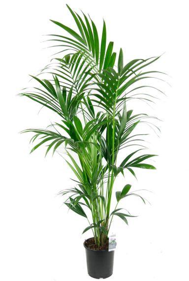 Kentia palm grote kamerplant 1