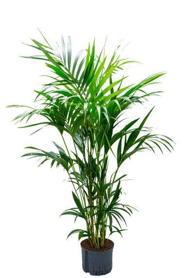Kentia palm hydro