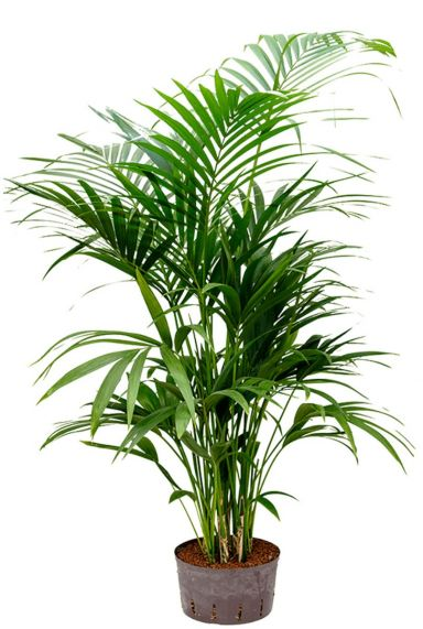 Kentia palm hydro kamerplant 1