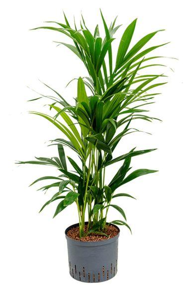Kentia palm hydro plant