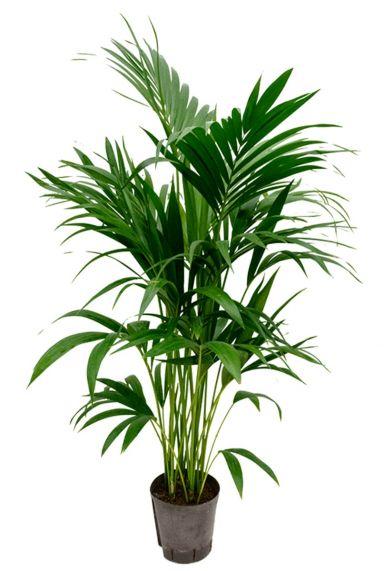 Kentia palm hydrocultuur