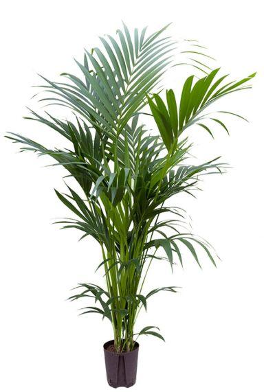 Kentia palm hydrocultuur 1