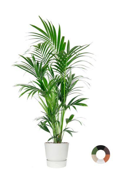 Kentia palm in elho potten