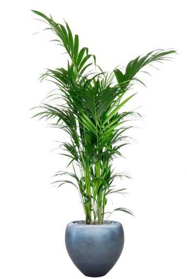 Kentia palm in luxe pot