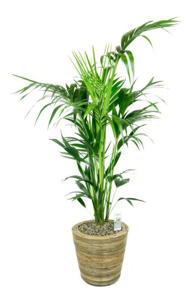 Kentia palm in mand