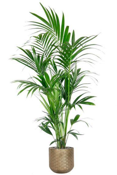 Kentia palm in pot 1