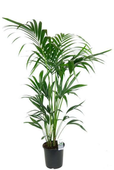 Kentia palm kamerplant 1 1