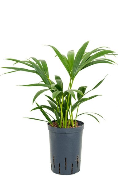 Kentia plant hydrocultuur