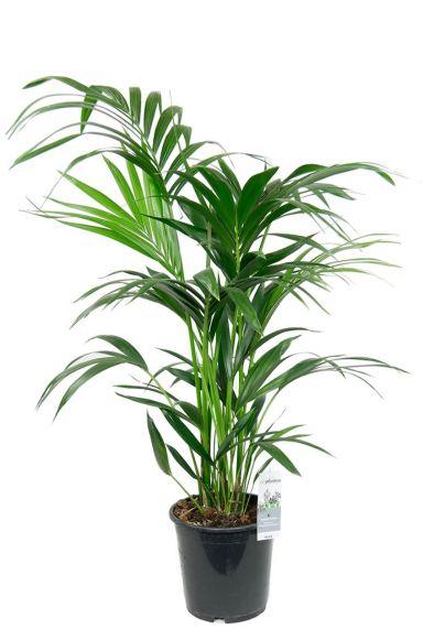 Kentiapalm kamerplant