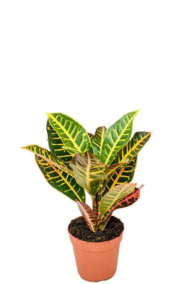 Klein croton plantje