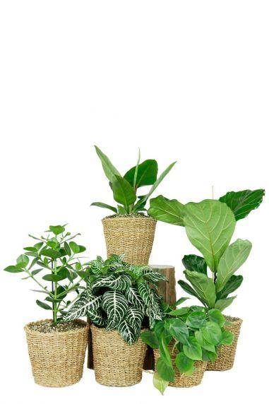 Kleine kamerplanten in mand