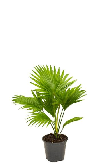 Kleine livistonia rotundifolia palm