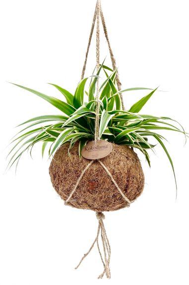 Kokodama chlorophytum comosum