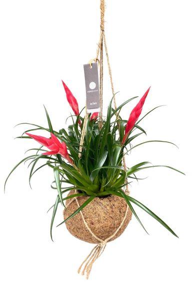 Kokodama vriesea plant