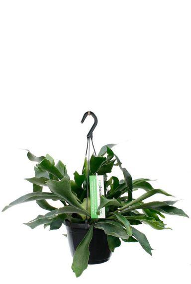 Kopen bijzonder plant platycerium hertshoornvaren