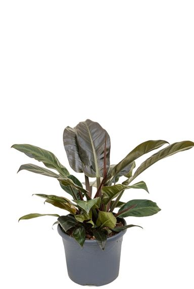 Kopen kamerplant philodendron imperial red