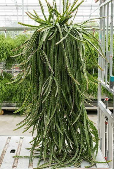 Lepismium cruciformis hangplant
