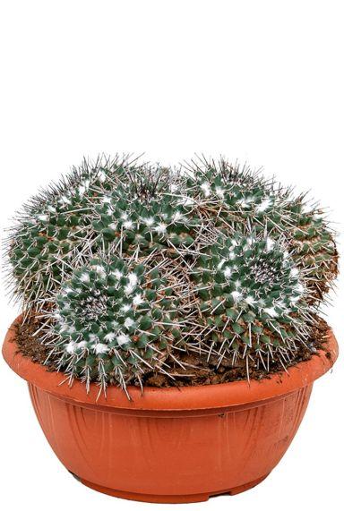 Mammillaria compressa cactus