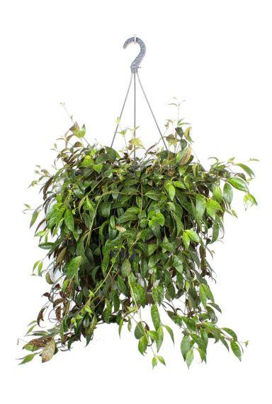 Marmoratus hangplant