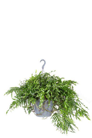 Microsorum diversifolium hangplant