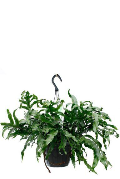 Microsorum javavaren mooie groene hangplant