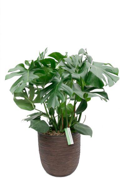 Gatenplant in Capi rib pot